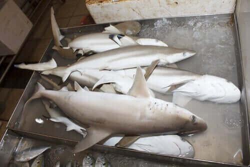 Döda hajar på hög.