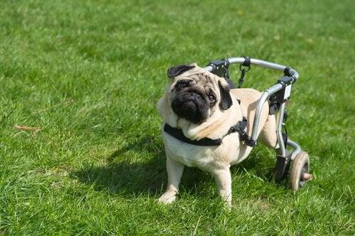 Förlamade hundar går igen tack vare deras nosar