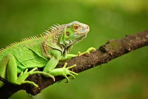 Vad den tropiska gröna leguanen mestadels äter