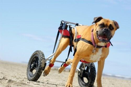 En hund med förlamade bakben får hjälp av hjul.