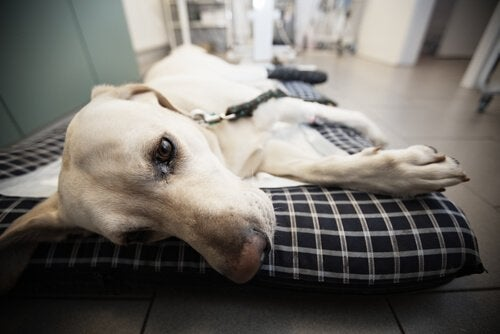 Hund som ligger på kudde.