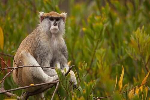 Husarapans egenskaper: möt denna fascinerande primat