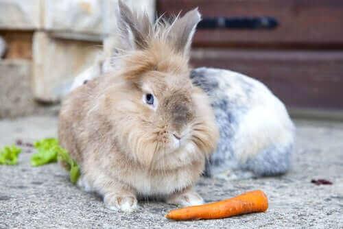 Kanin med morot.