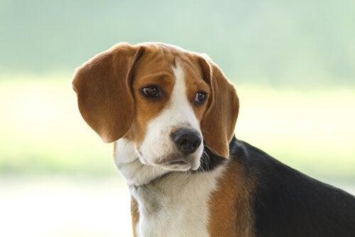 En beagle tittar åt sidan.