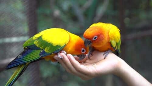 Papegojor äter mat ur handen på sin ägare.