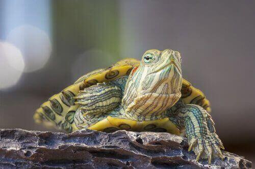 Vad är rinit hos sköldpaddor och hur behandlas det?