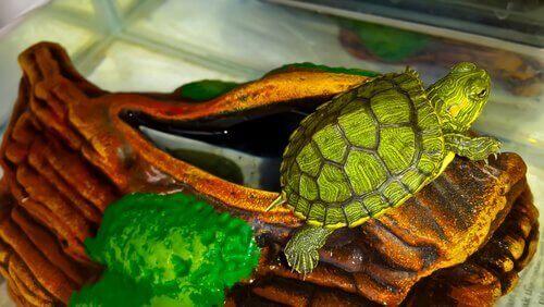 Skoldpadda på stock i terrarium.