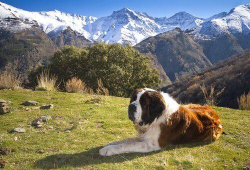En beskyddande hund i Alperna.
