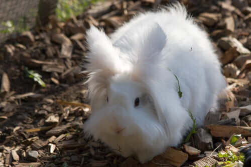 Vit lurvig kanin.