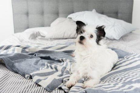 Hund på sängen