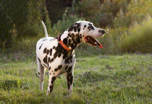 Ledsna hundar viftar också på svansen