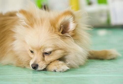 Vad kan man göra om ens hund kräks ofta?