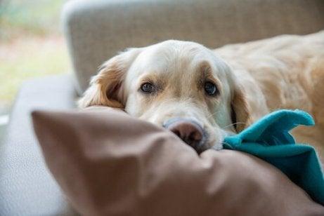 Trött hund på soffan