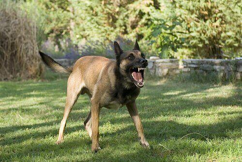 En arg hund med svansen rakt ut.