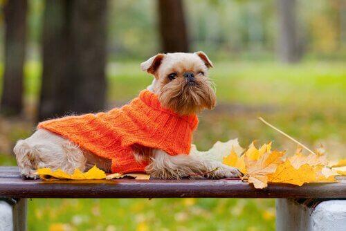 Hund med tröja på sig.