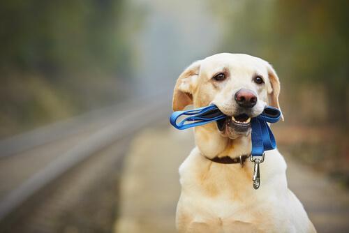 Hur man får hunden att ha på sig koppel