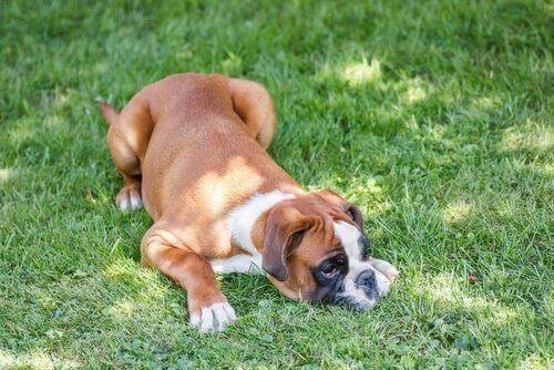 Hund som ligger i gräset.