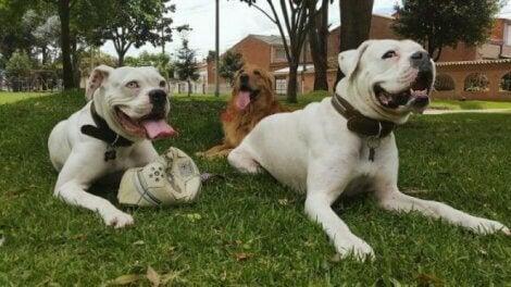 Hundar i grupp