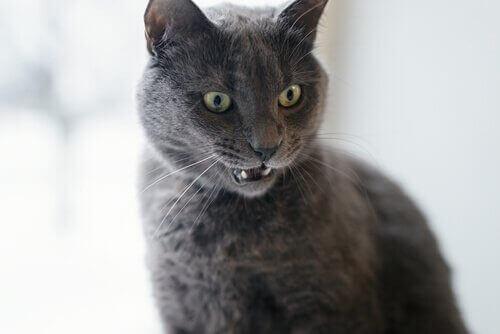 Irriterad katt med morrhår i fokus