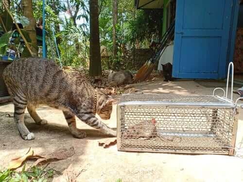 Leptospiros hos katter: symtom och behandling