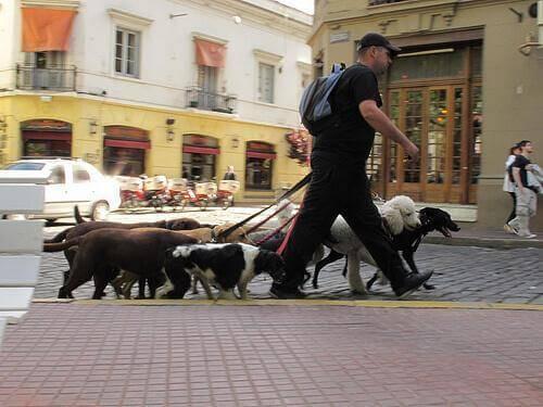 Promenad med många hundar.