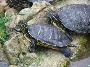 Att föda upp och ta hand om sköldpaddor