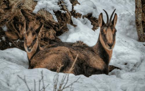 Den mystiska pyreneiska gemsen: vad är det för djur?