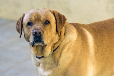 Hund som lider av övervikt