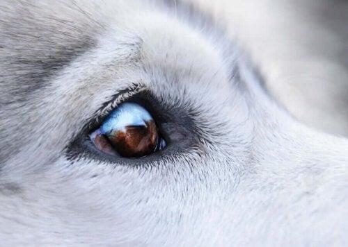 Att behandla vårtor runt hundens ögon