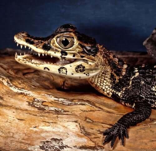 Krokodilunge på stam
