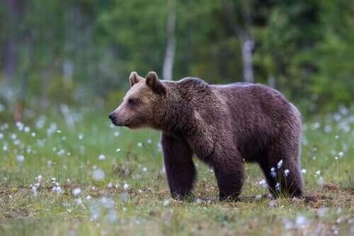 Bevara den biologiska mångfalden: björnar