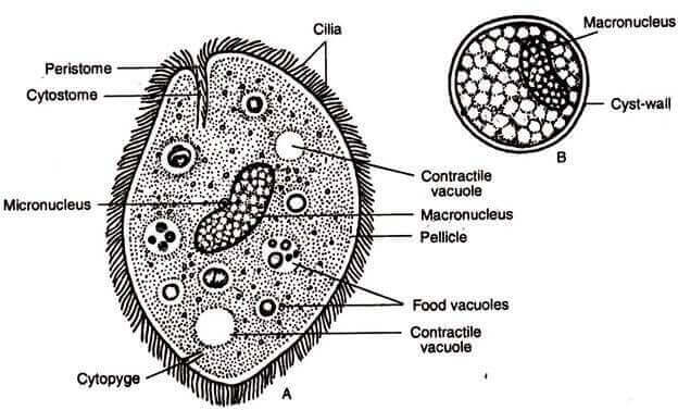 encelliga parasiter