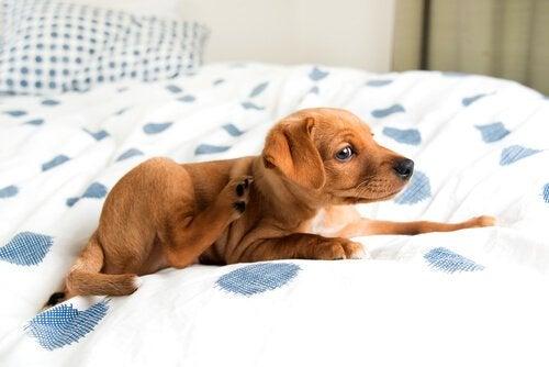 Förhindra och behandla fukteksem hos hundar