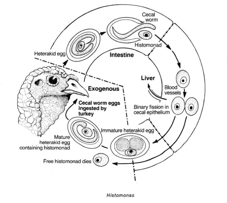 Livscykel an protozo histomonas.