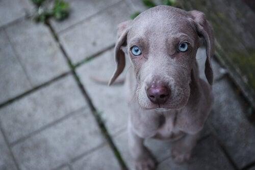 Söta och intressanta hundraser med blå ögon