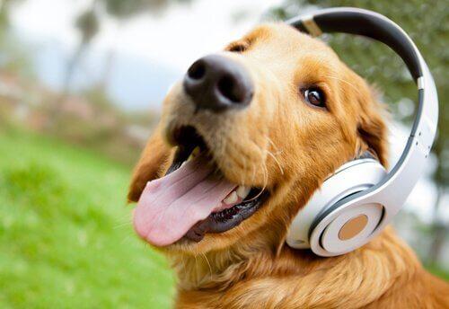 Hund med hörlurar på sig