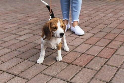 Symptom på parodontal sjukdom hos hundar