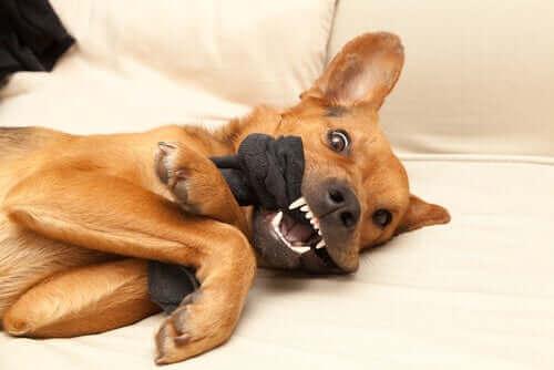 En hund vaktar sin leksak.