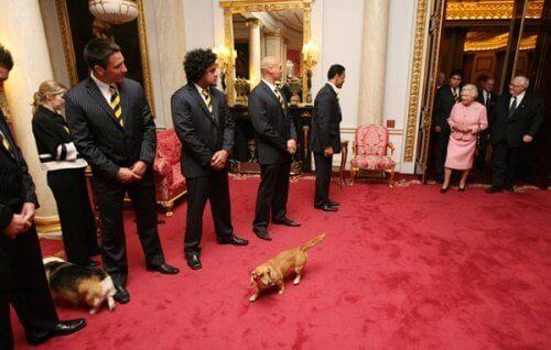 Hund som går på röda mattan.