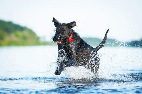 Några av de mest atletiska hundraserna