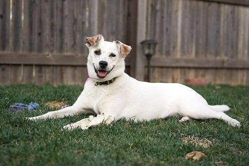 Vad är akut buk hos hundar för något?