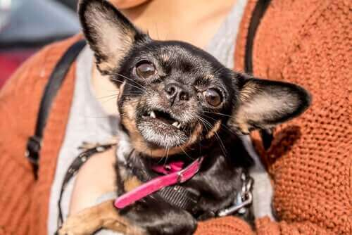 Hund som saknar tänder.