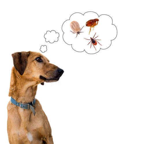 Hund som tänker på parasiter.