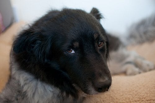Symptom och behandling av ehrlichios hos hundar