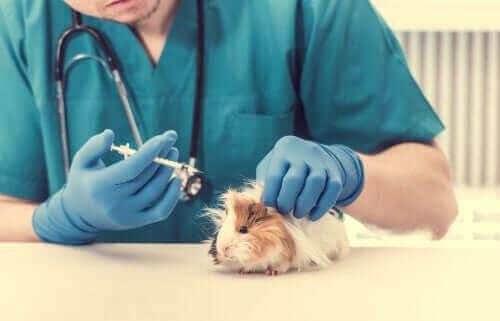 Marsvin hos veterinären