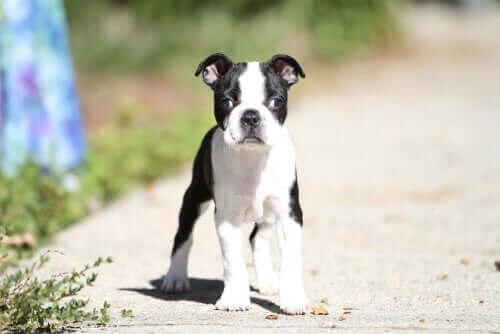 Skelning hos hundar: orsaker och behandling