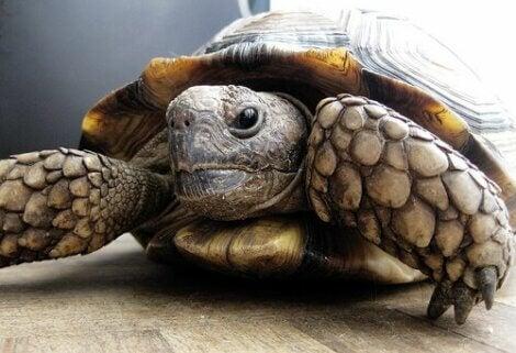 Sköldpadda inomhus.