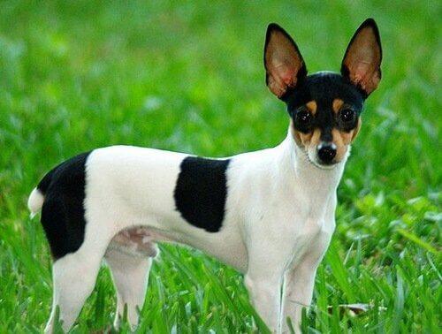 Toy fox terrierns egenskaper och utseende