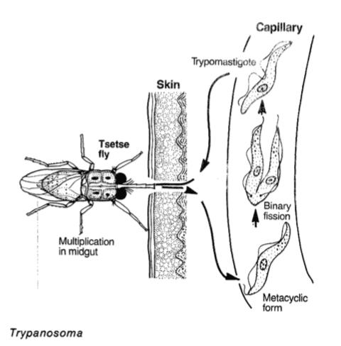 Tse-tse flugan infektionscykel