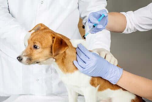 Hund bli vaccinerad hos veterinären.